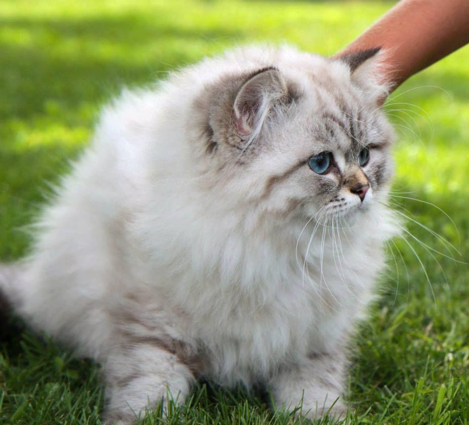 Ip Hop Male British Longhair Seal Tabby Point Cat Chat Animal Babycat Kitten Bordeaux Britishlonghair Baby Cats Kittens