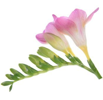Pink freesia flower bouquets pinterest freesia flowers flower pink freesia flower mightylinksfo