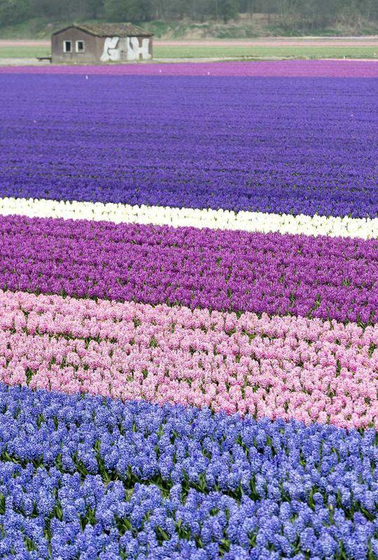 Spring in Holland. Hyacint fields.