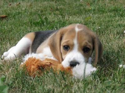 Donne Chiot Beagle Departement 37 Indre Et Loire Chiot Beagle Don De Chiot Beagle