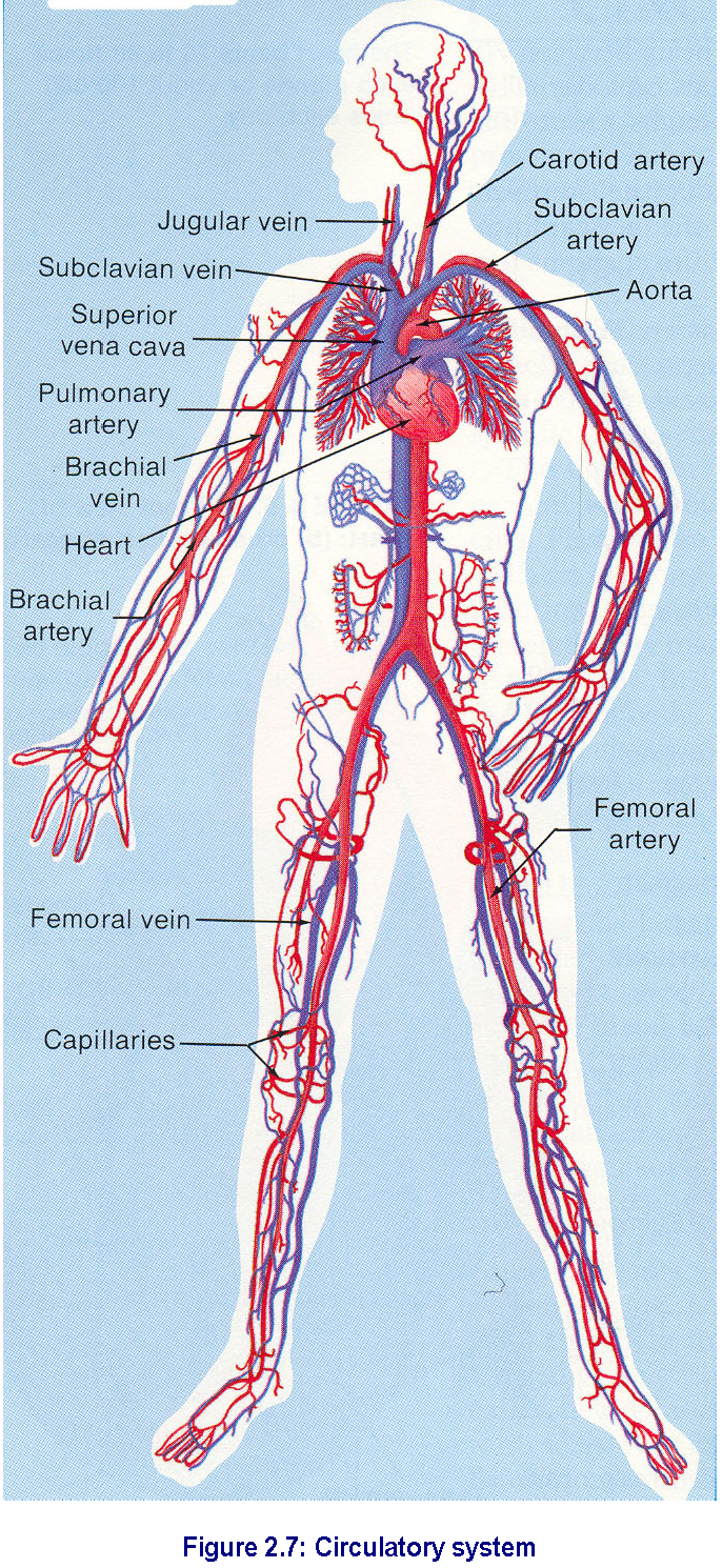 Parts Of The Circulatory System Blood Vessels Blood Is Continually