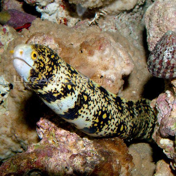 Snowflake Eel Underwater Animals Aquarium Fish Fish