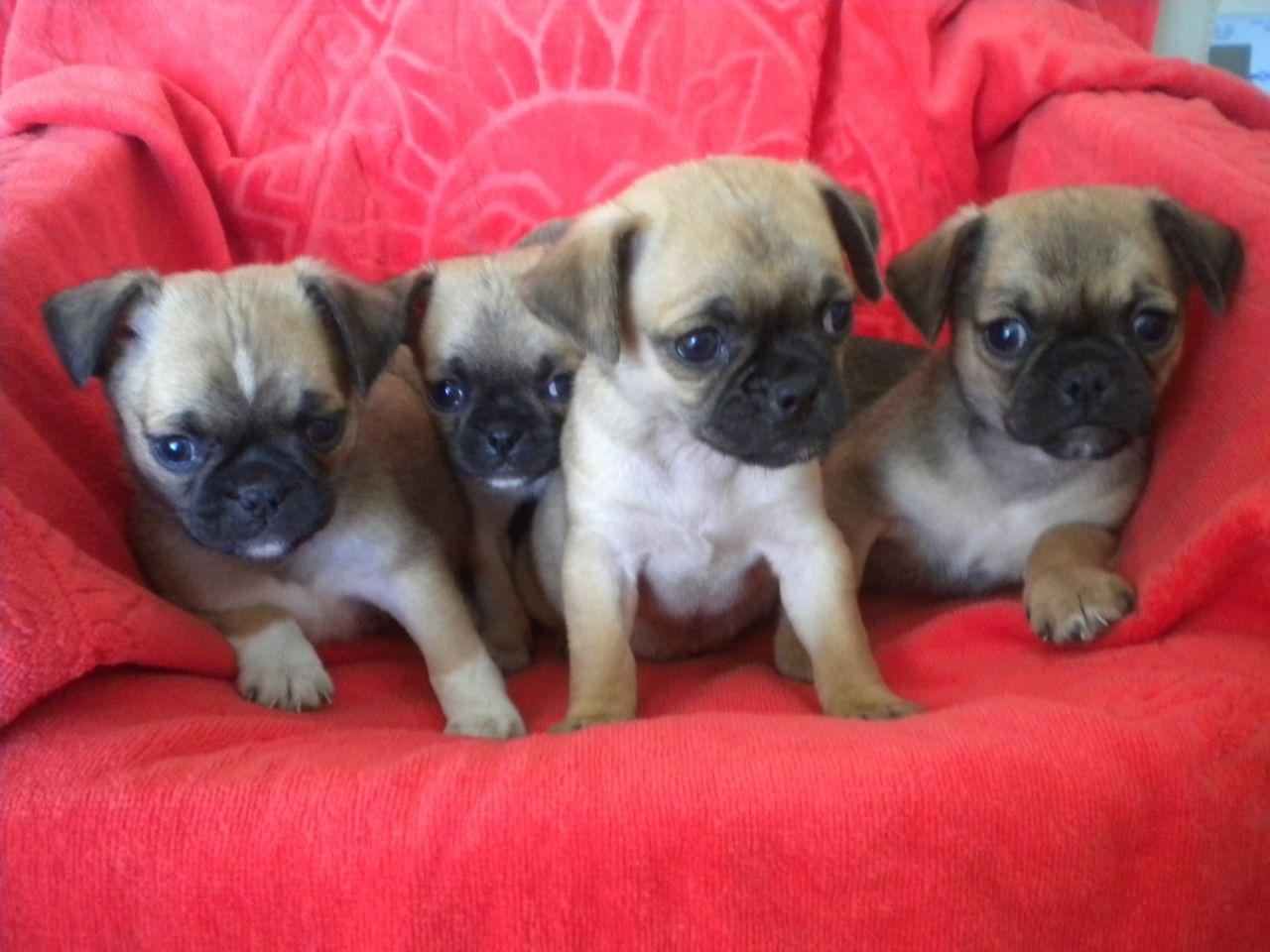 Adorable Pug X Chihuahua Chug Puppies Chug Puppies