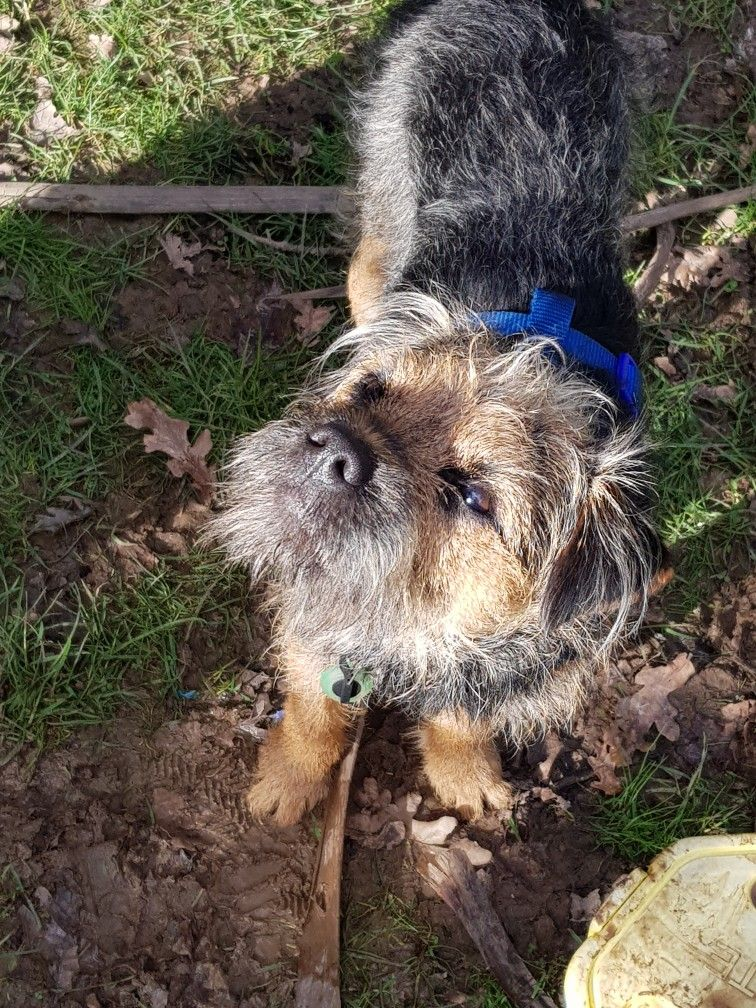 Pin By Susanne Pound On Border Terrier Woody Border Terrier Brown Dog Terrier