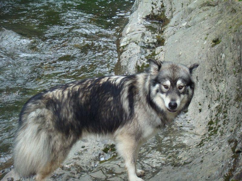 Malamute Wolf Mix Sylestia - Foru...