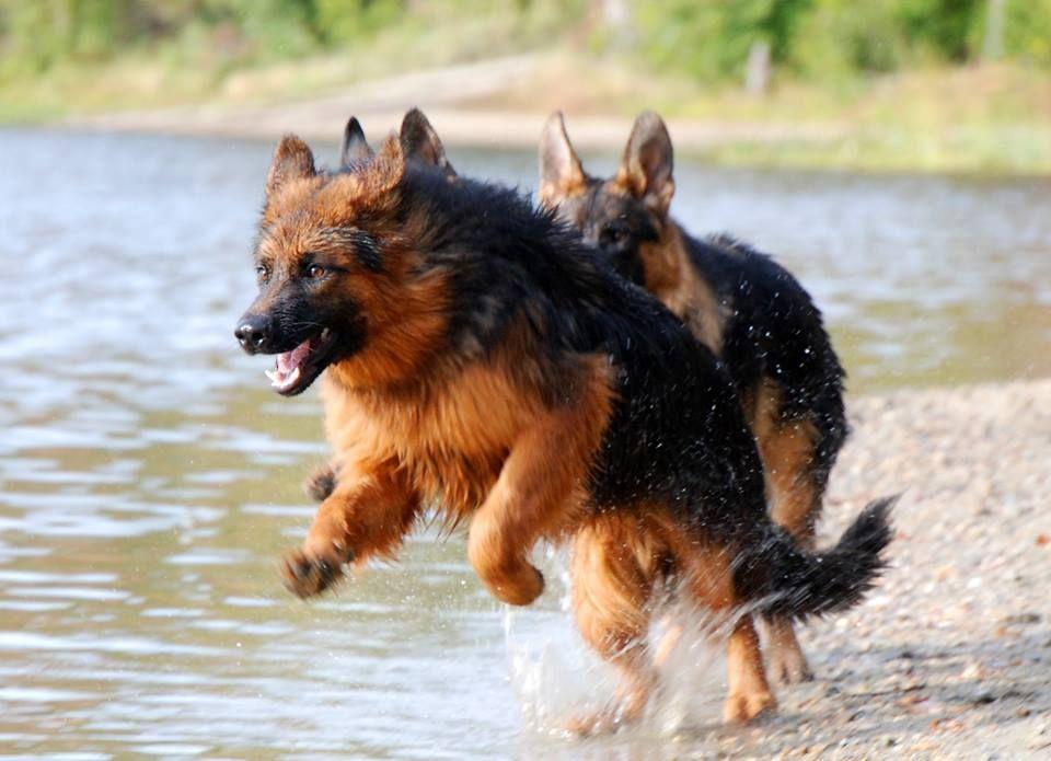 6 Month Old German Shepherds Playing At Waters Edge Grunwald Haus