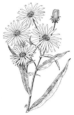 Aster Flower Drawing Google Search Flower Drawing Aster Tattoo Birth Flower Tattoos