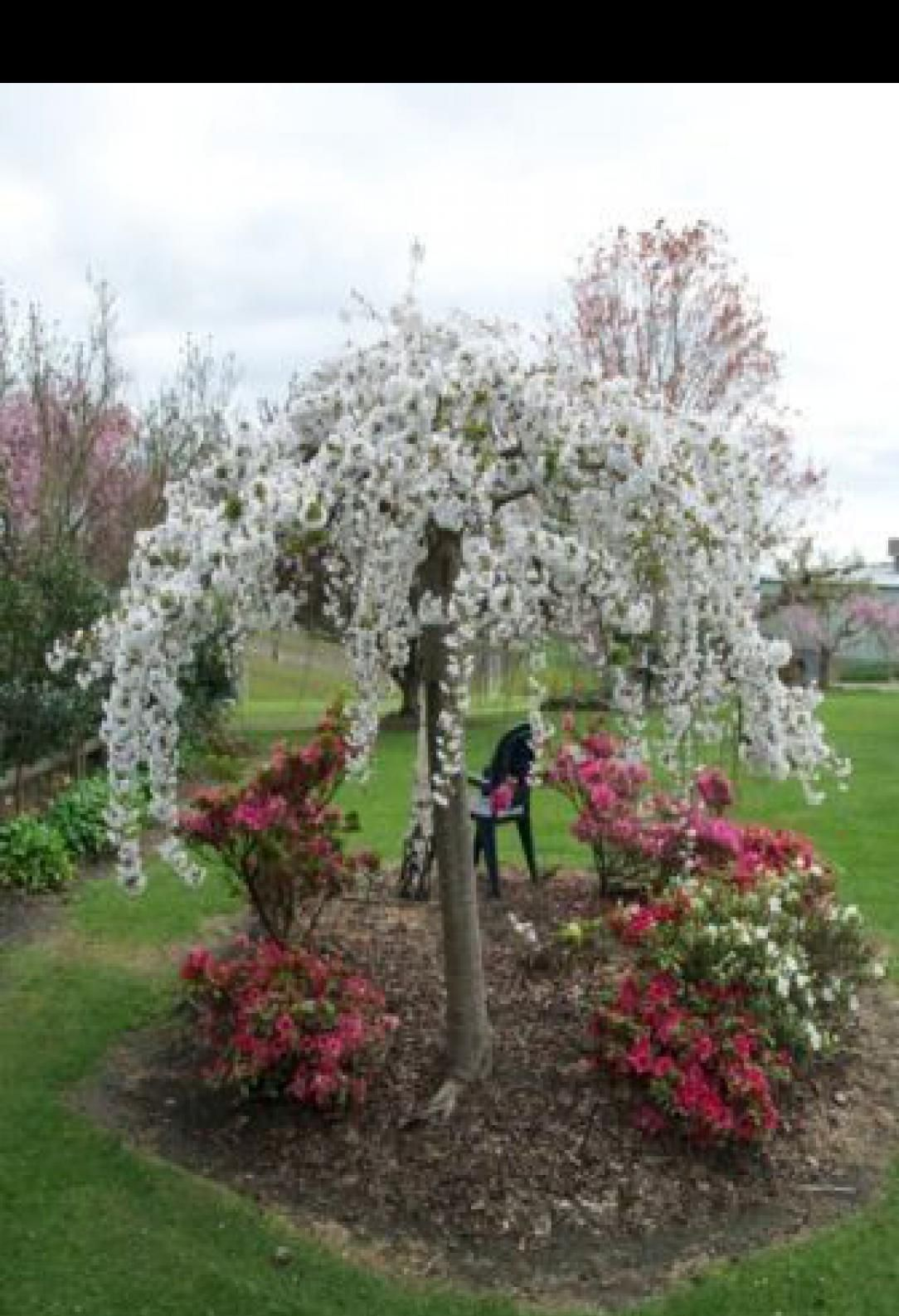 I M Thinking About Planting A Weeping Cherry Tree In Our New Front Yard Weeping Cherry Tree Cherry Tree Cherry Blossom Tree