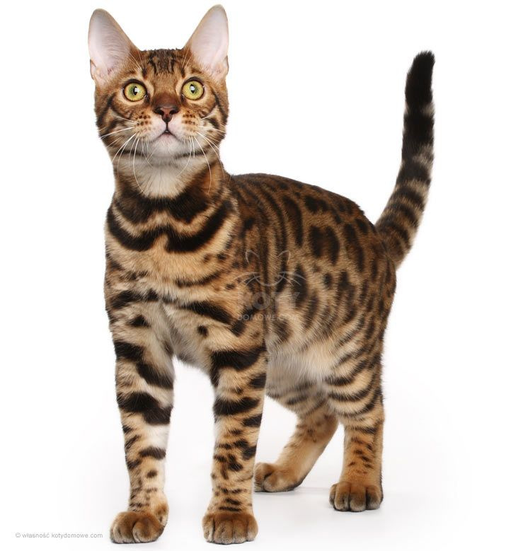 Kot Bengalski Rasowe Koty Domowe Cats Bengal Cat Cute Cats