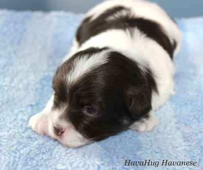 Puppies For Sale Havanese Havanese Dogs Puppies For Sale