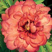 Paeonia lactiflora x lemoinei 'Kopper Kettle'