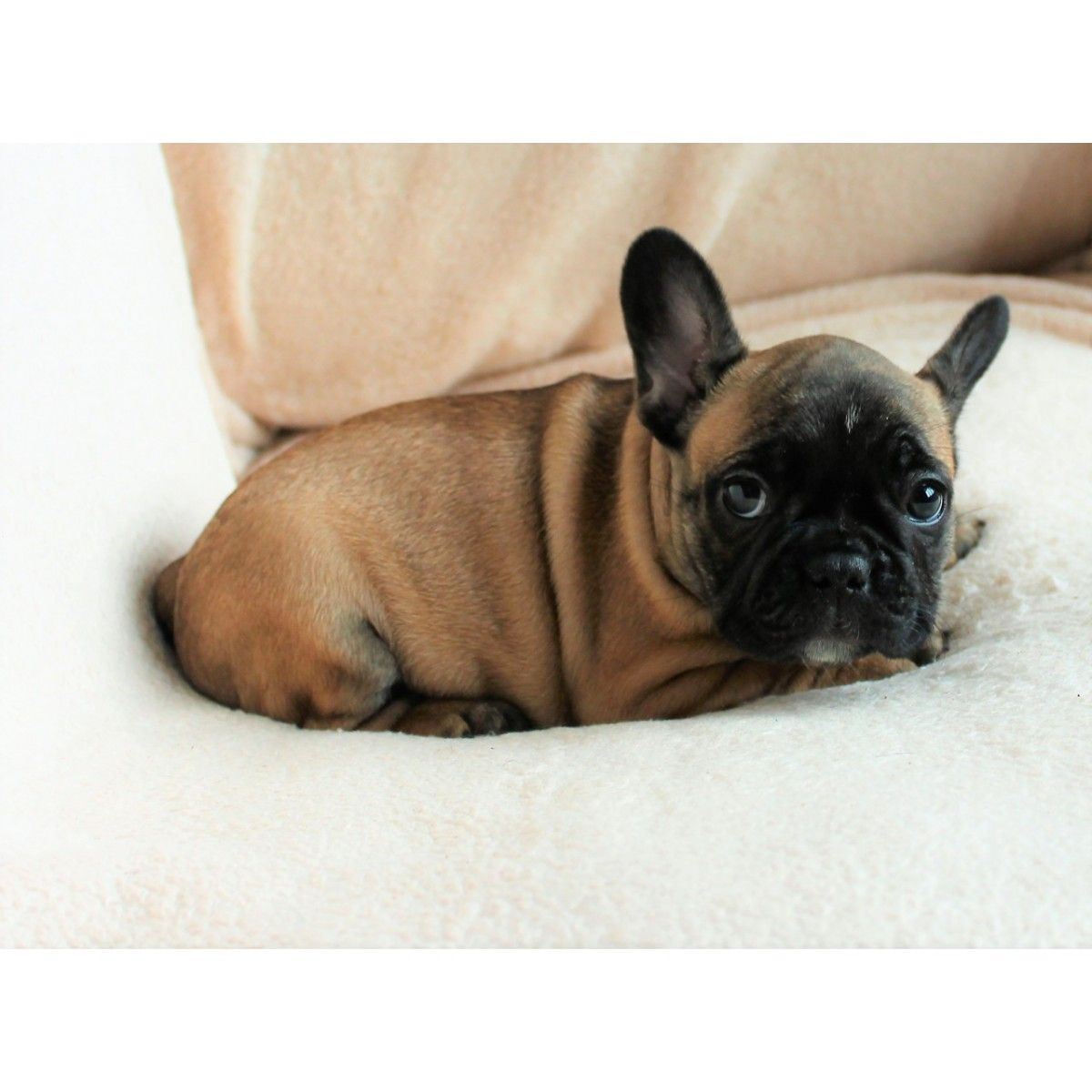 Idealnaya Devochka French Bulldog French Bulldog Puppies Dogs