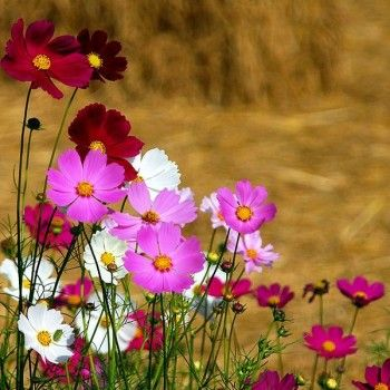 10 Plants To Help Save The Bees Cosmos Flowers Beautiful Flowers Pretty Flowers