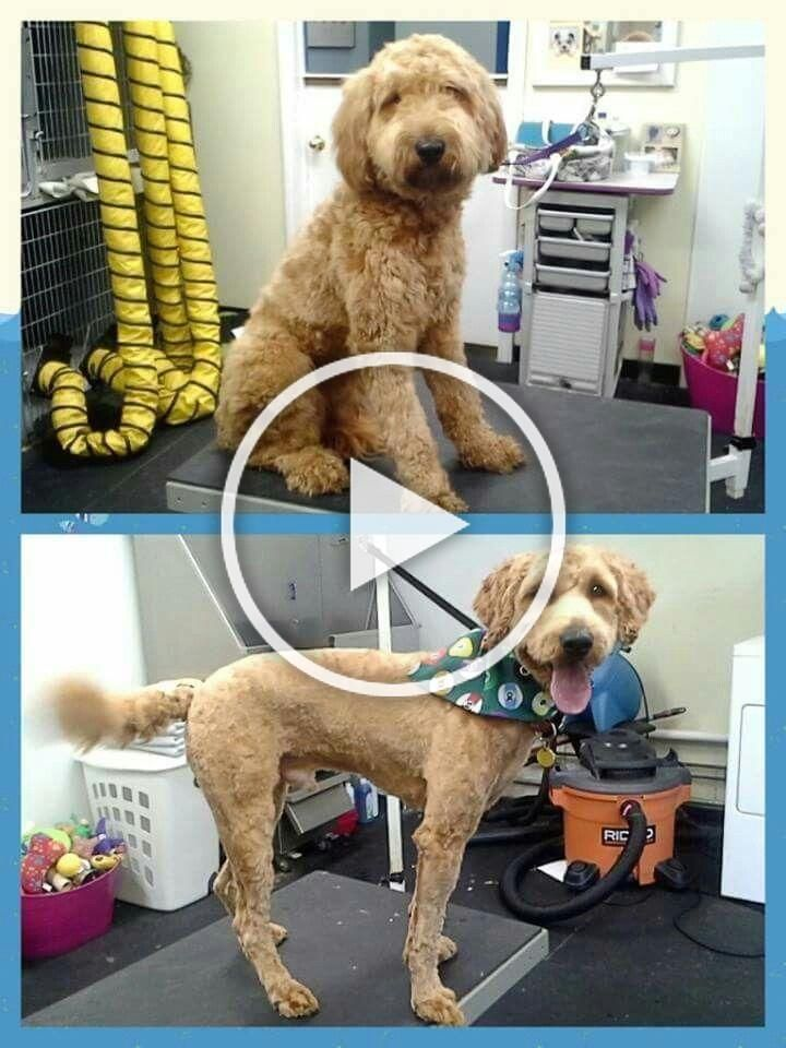 how to groom a goldendoodle for summer