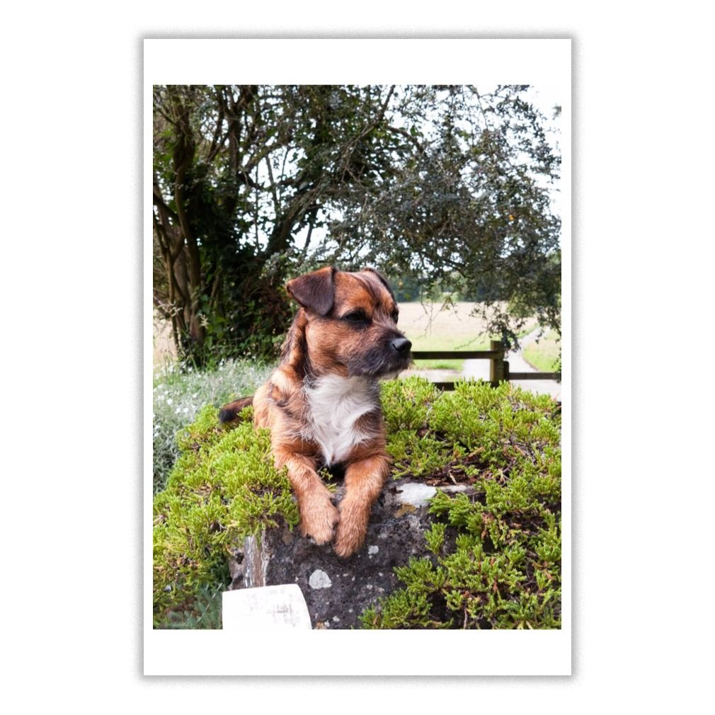 I Love Border Terrier Dog 10 Poster Border Terrier Terrier