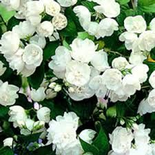 Image result for philadelphus