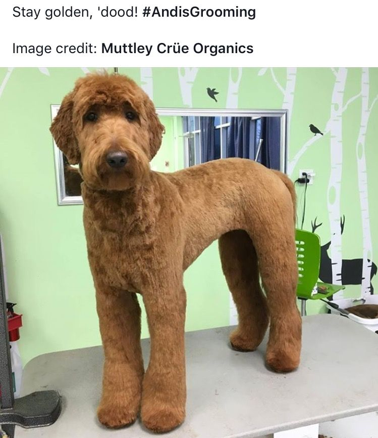 Yes But Not So Short On Ears Labradoodle Grooming Dog