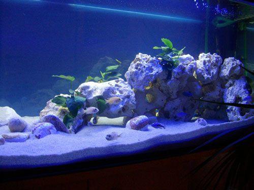 Barschis Malawi Becken - Aquarium Forum   Malawi   Pinterest ...