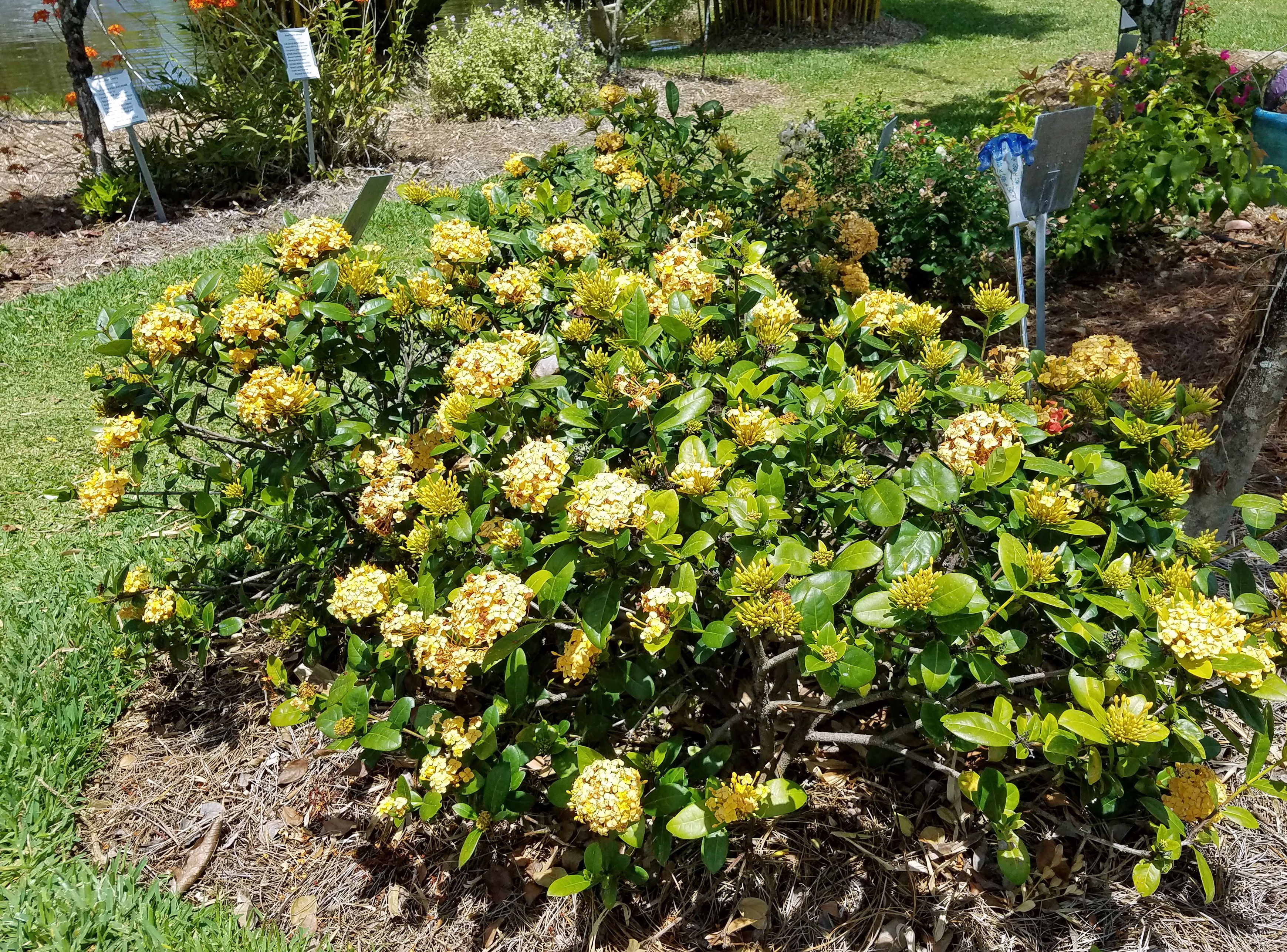 Yellow Maui ixora Riverland Nursery Tour Pinterest