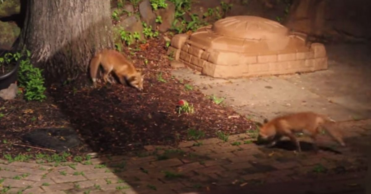 Playful baby foxes find a dog's toy ball Animal rescue