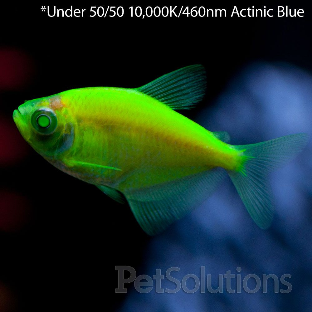 Fascinating freshwater fish glofish electric green tetra for Aquarium fish online