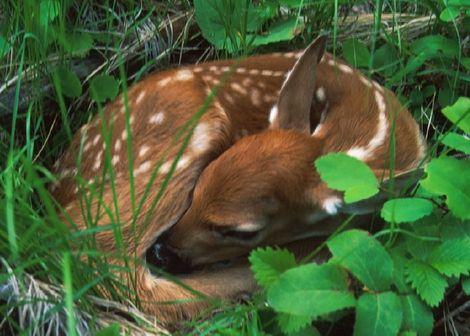 Google Image Result for http://www.wildlifemanagementpro.com/wp-content/uploads/2008/01/information-on-whitetail-fawns.jpg