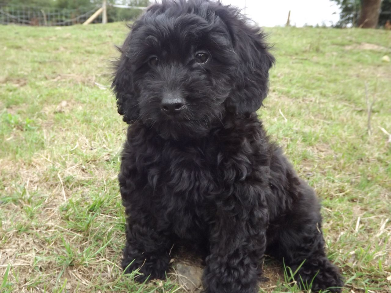Gorgeaus Dark Cockapoo Puppies Cockapoo Puppies Puppies Black