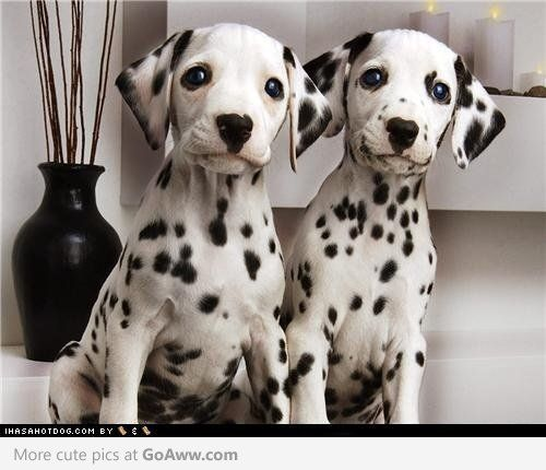 Dalmatian puppies awwwww