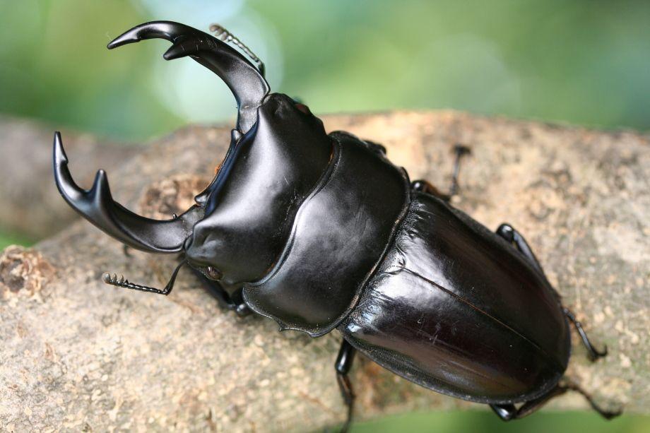 ネパールアンタエウス クワガタ カブトムシ 写真館 Bugs And Insects Stag Beetle Arthropods