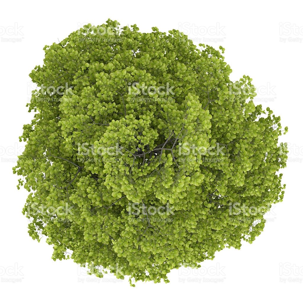 Common Lime Tree Tree Plan Tree Photoshop Trees Top View