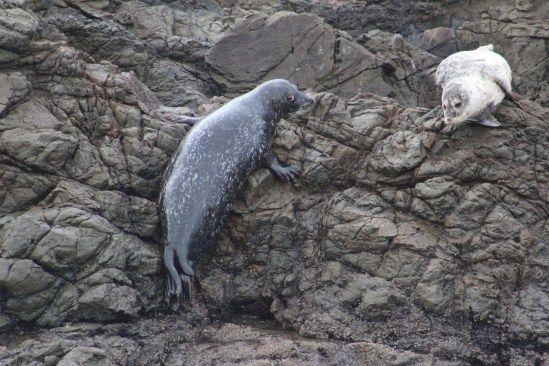 Harbor Seal, Seal Rock Shelter Cove CA