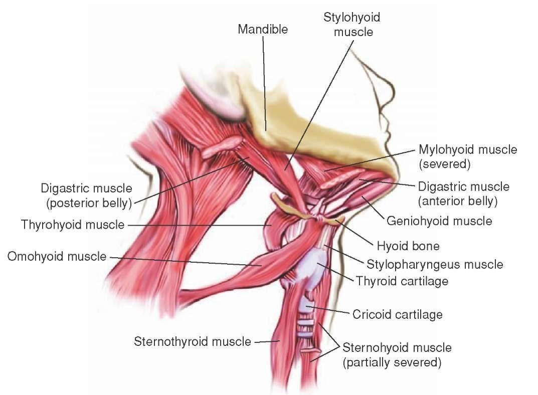 hyoid bone - Google 검색 | Anatomy | Pinterest | Anatomy