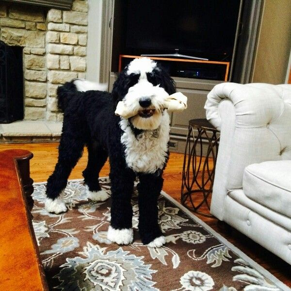 Ike Is A Classic Black White F1 From Sweet Sheepadoodles If You
