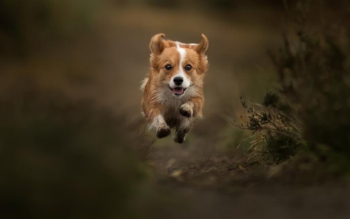Lataa kuva Welsh Corgi, lentävä koira, metsä, lemmikit, koirat, koirarodut