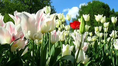 Beautiful garden of tulips. Spring flowering and nature landscape.