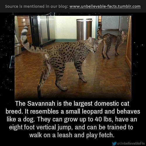 Savannah Cat Acts Like Dog