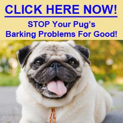 Learn How To Stop Your Pug Barking Problems Now The Tips And