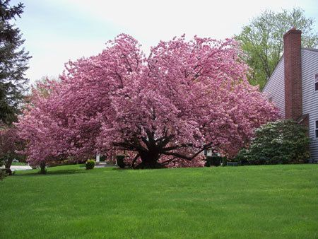Kwanzan Cherry Tree Fast Growing Trees Cherry Tree Flowering Cherry Tree