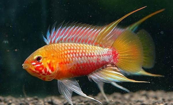 Where Can One Purchase An Apisto Like This Aquarium Fish Beautiful Tropical Fish Cichlids