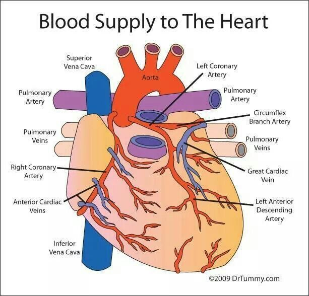 Blood supply of Heart | Anatomy & physiology | Pinterest | Blood ...