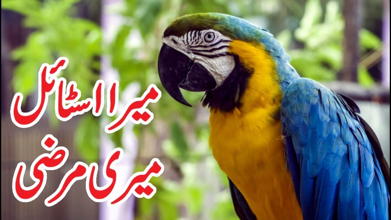 macaw parrot video DO MACAWS MAKE GOOD PETS? in 2020