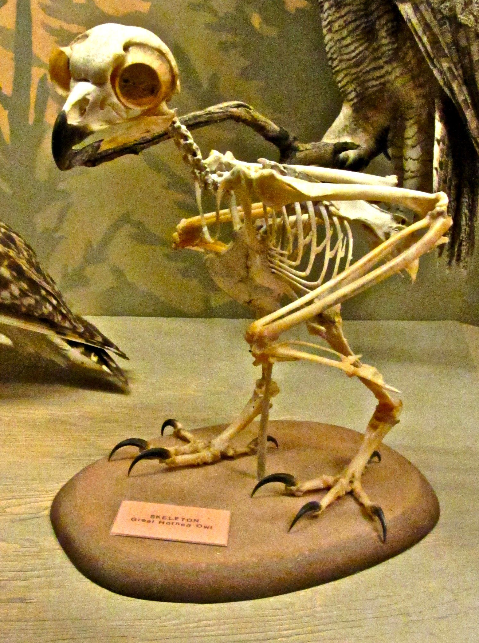 Anatomy Of A Great Picture: Great_Horned_Owl_skeleton.jpg (JPEG-kuva, 1559 × 2090