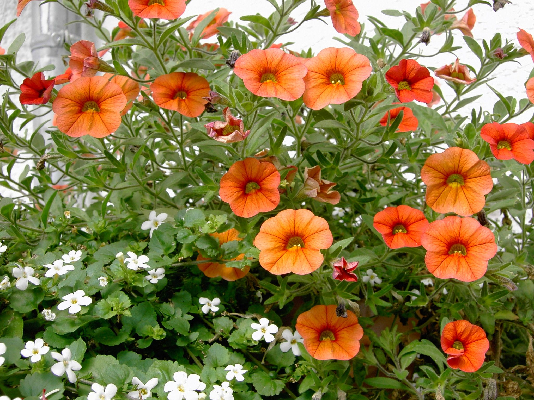How to care for calibrachoa perennials gardens and garden care how to care for calibrachoa izmirmasajfo