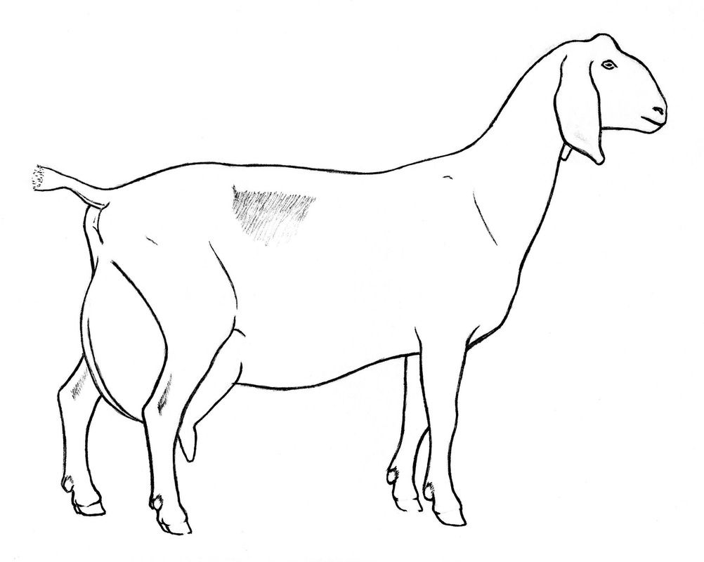 Dairy Goat Coloring Pages Haw To Draw Goat Colouring Pages