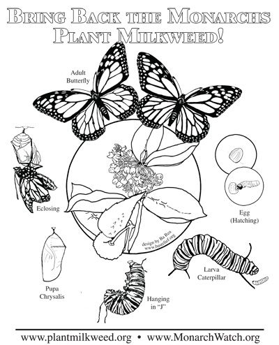plant milkweed complex coloring page - Monarch Caterpillar Coloring Page