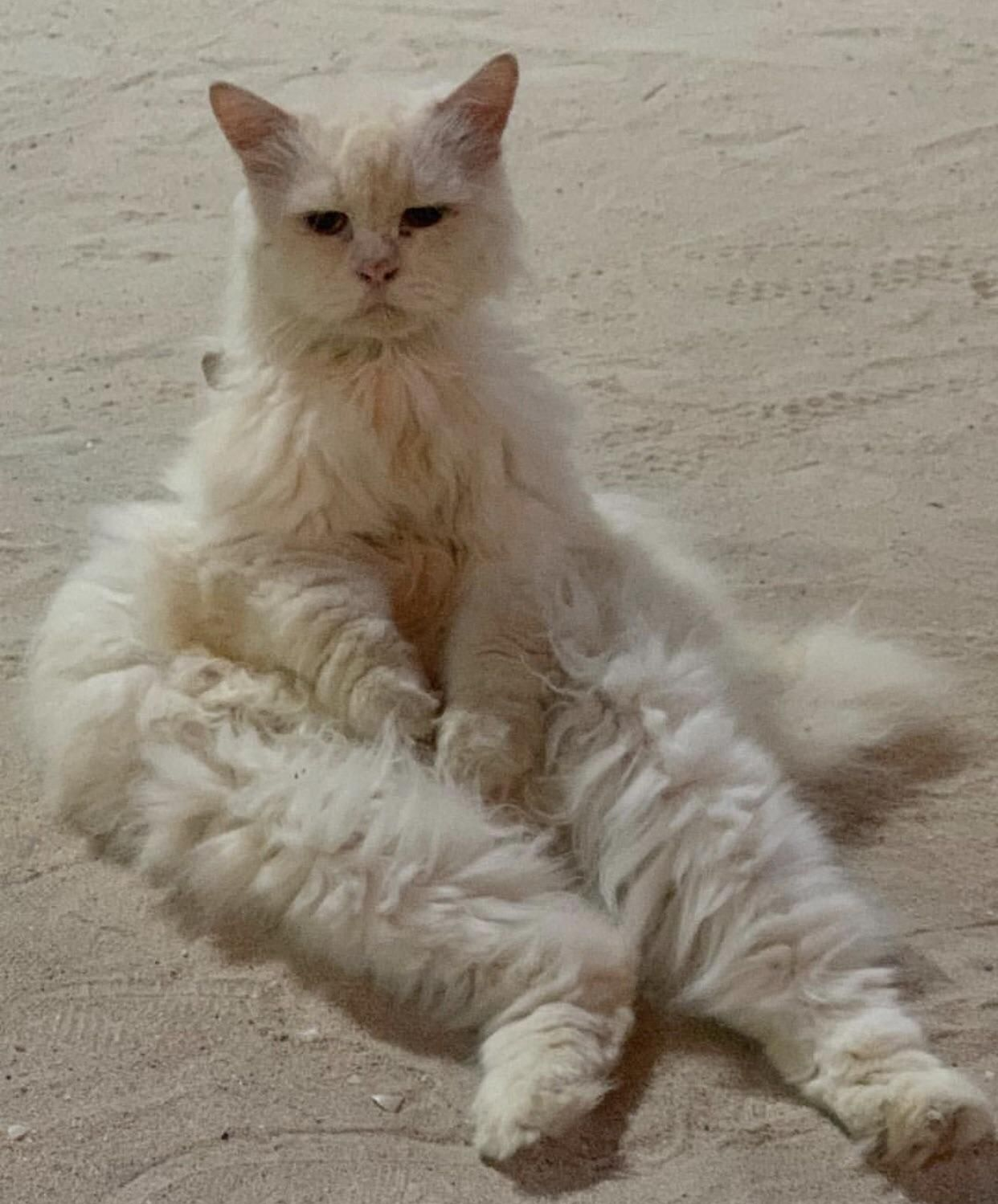 I tired. I rest. Cute cats, White cats, Cute animals