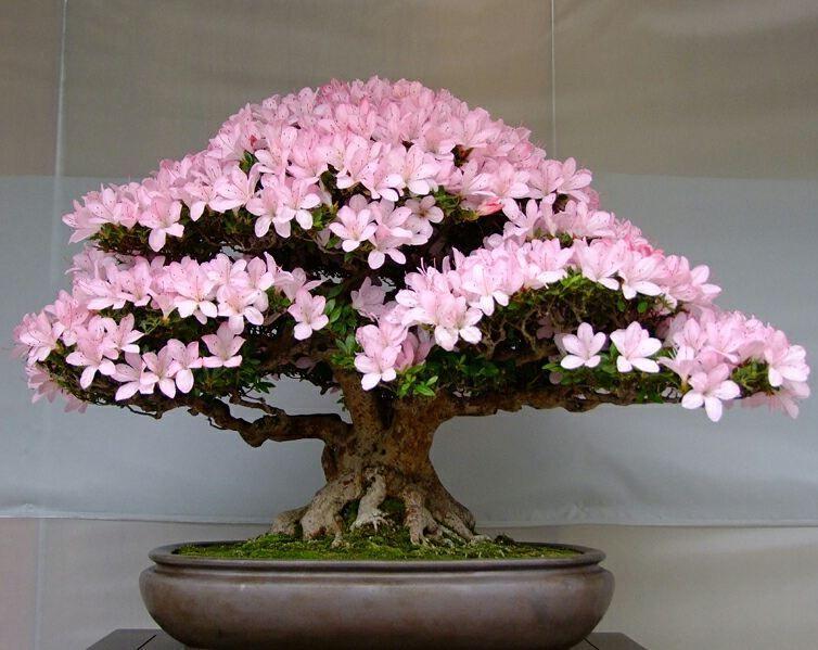 67th Satsuki Bonsai Festival Satsuki Azalea Rhododendron Indicum Bonsai Tree Bonsai Tree Types Bonsai Tree Price