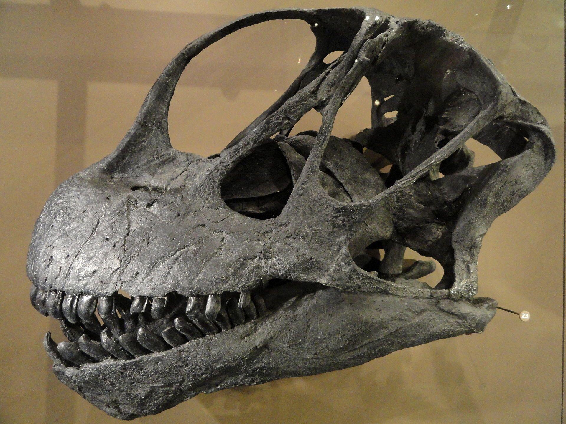 Huge Rooted Camarasaurus Tooth