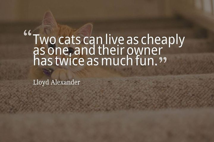 Two cats can live as cheaply as one and their owner has twice as much fun. - Lloyd Alexander #dogs #cats