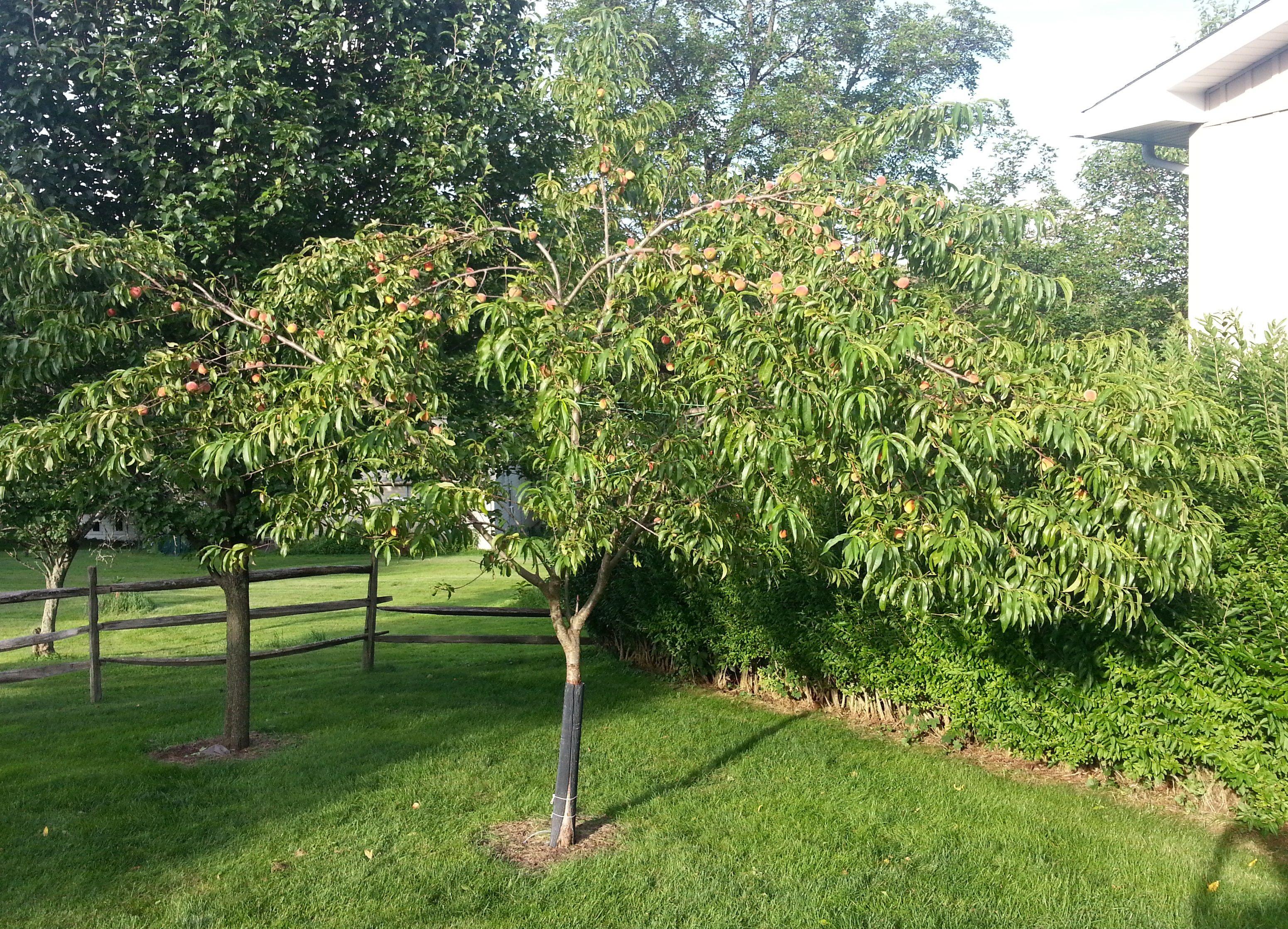 Reliance Peach Tree Peach Trees Plants Fruit Garden